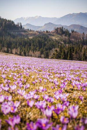 Saffron on mountain Velika planina