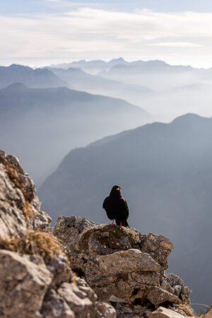 Alpine Chough Bird